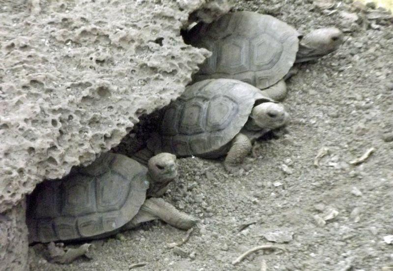 Young tortoises, Charles Darwin Research Centre - Puerto Ayora, Isla Santa Cruz