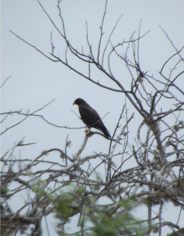 Galapagos Hawk - Isla San Salvador
