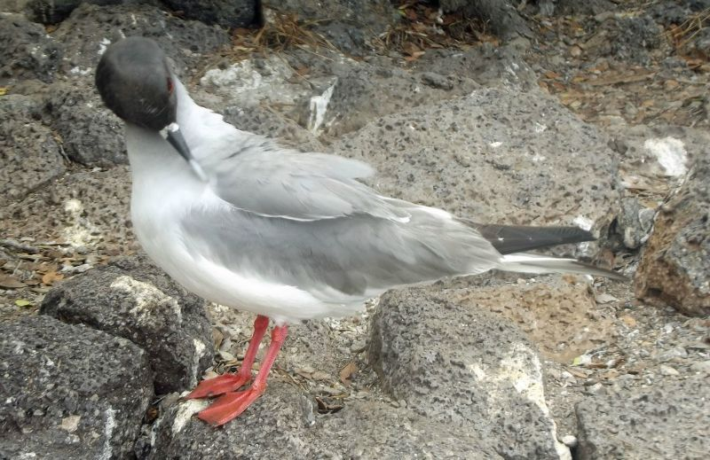 Swallow-tailed gull - Isla Plaza Sur