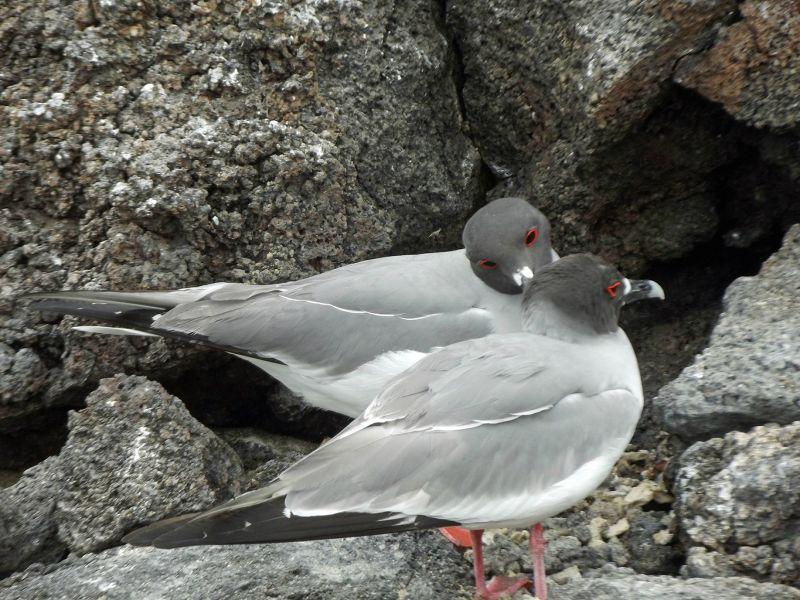 Swallow-tail gulls - Isla Genovesa