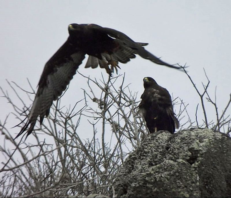 Galápagos hawks - Isla Española