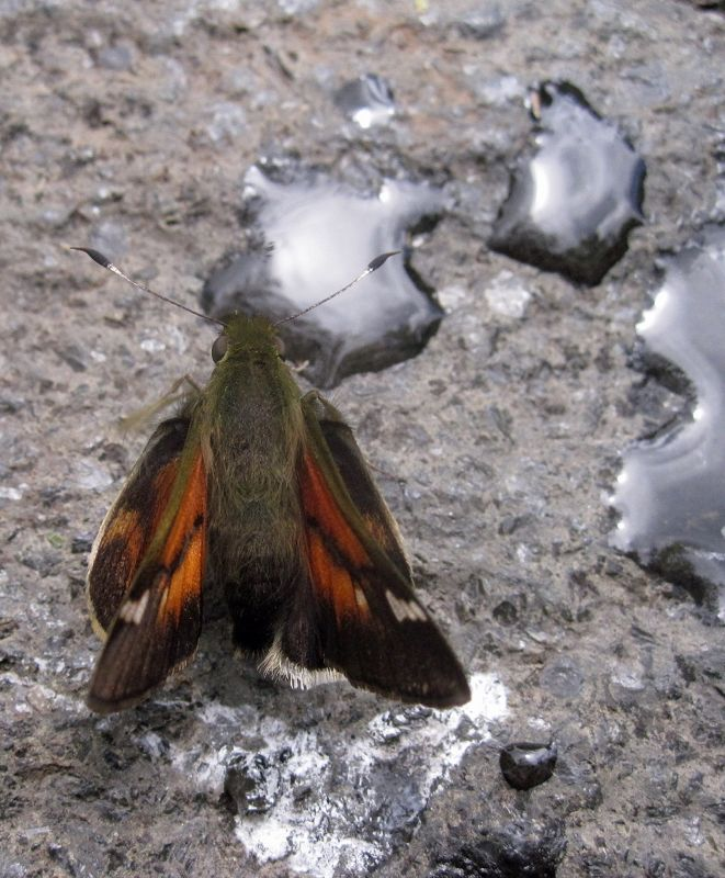 Moth by the hot pools - Papallacta