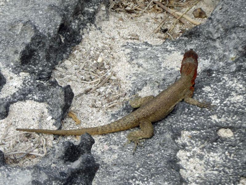 Lava lizard, Española - Galápagos Islands