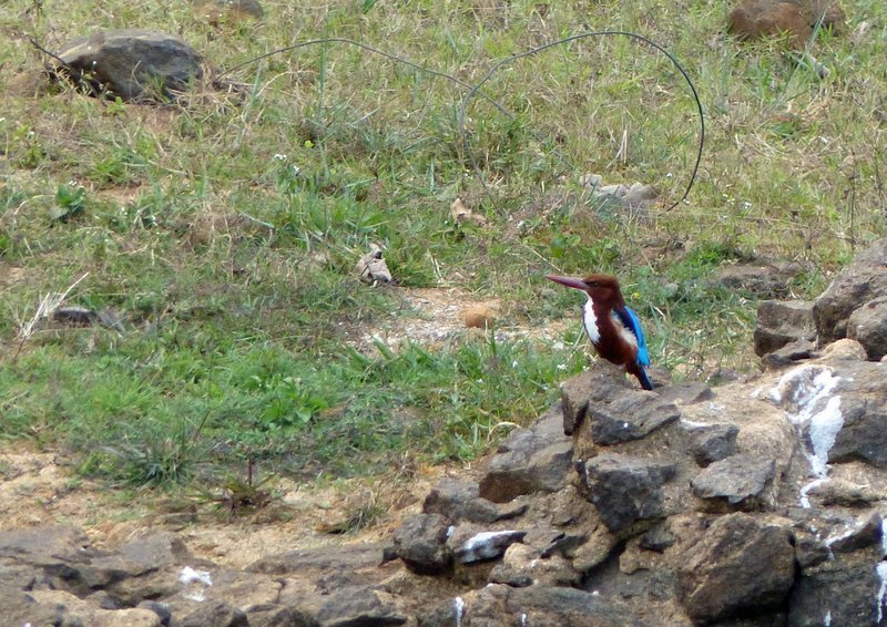 Kingfisher, Periyar Lake