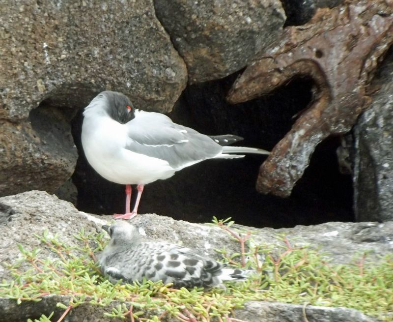 Swallow-tailed gull & chick - Isla Genovesa