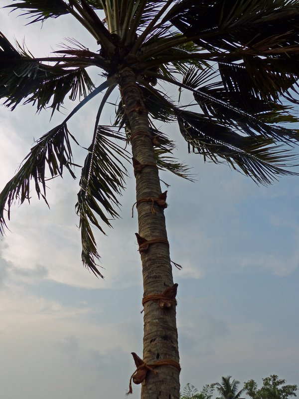 Coconut palm, Kerala backwaters