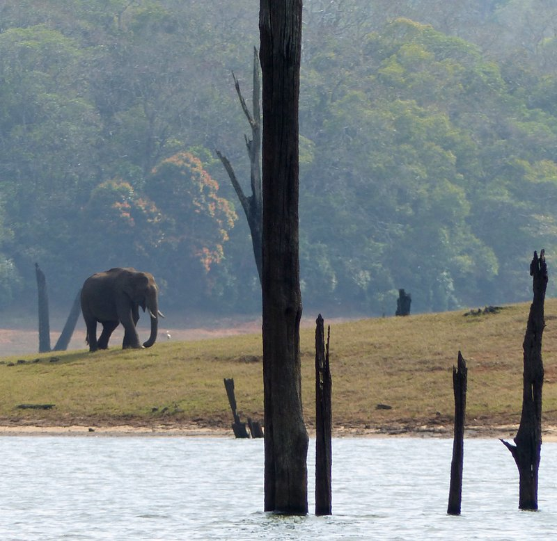 Young bull elephant, Periyar Lake