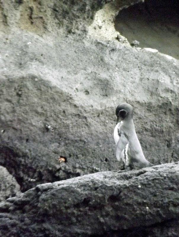 Galápagos penguin near Pinnacle Rock - Isla Bartolomé
