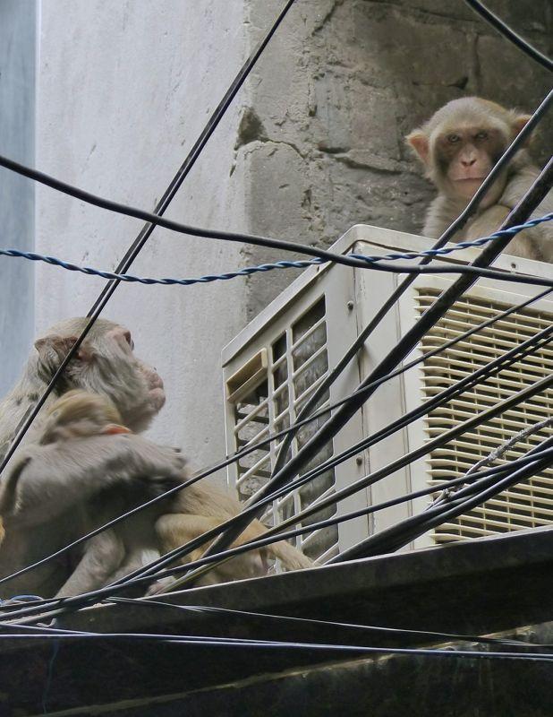 Macaques - Delhi