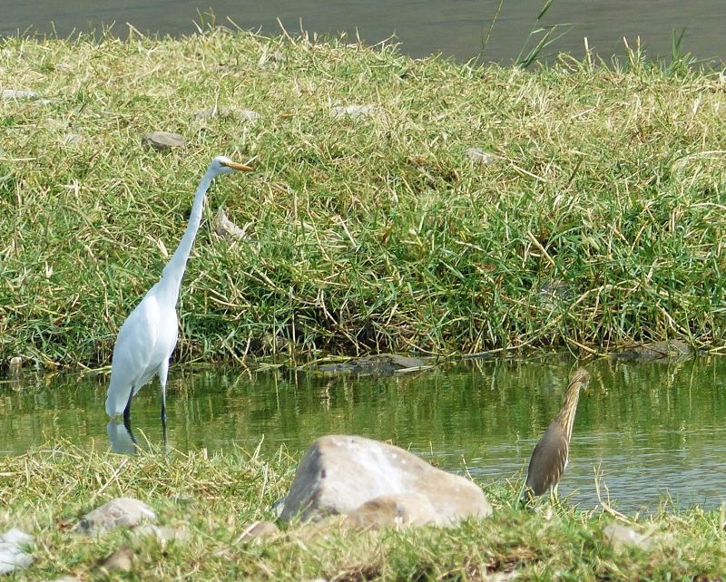 Egret and heron - Jaipur