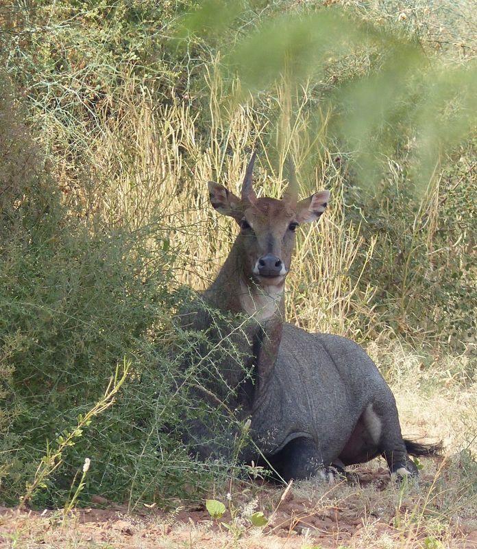 Antelope on the road to Khimsar