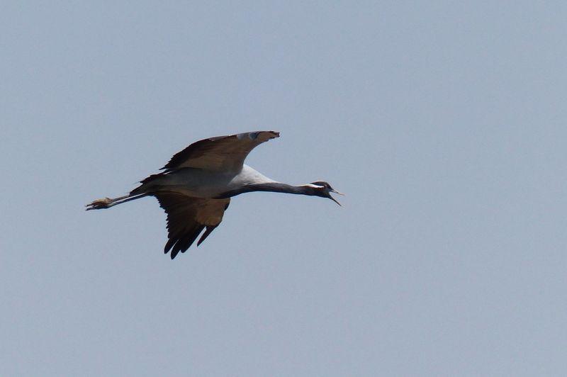 Demoiselle cranes - Khichan
