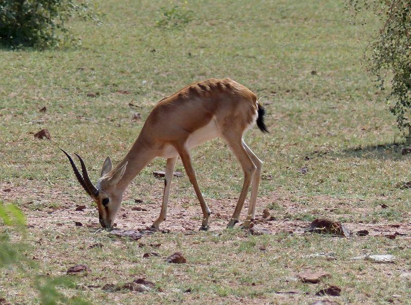 Antelope - on the road to Jaisalmer