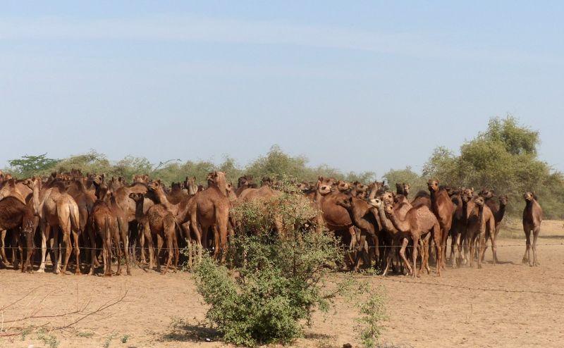 Camel herd on the road to Samsara - Dechu