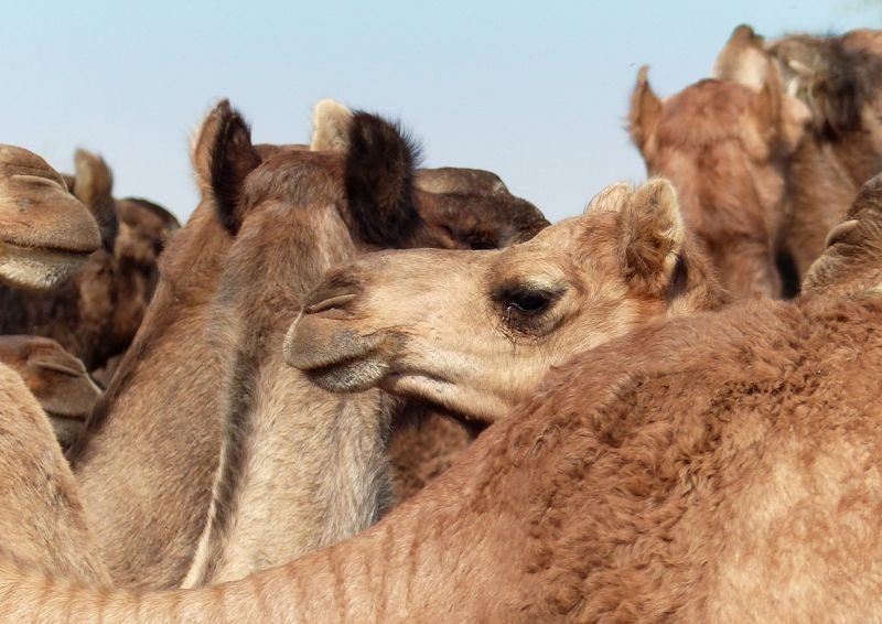 Camels on the road to Samsara - Dechu