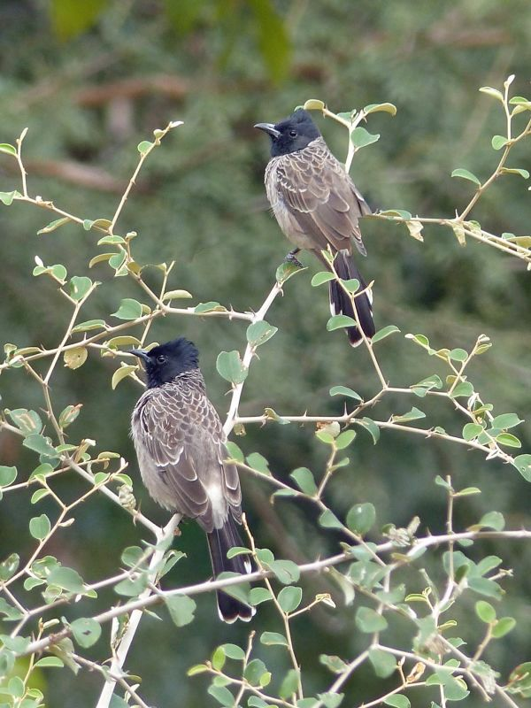 Bulbuls - Ranthambore National Park