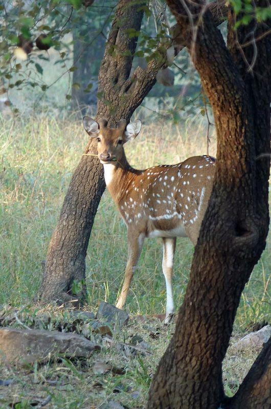 Chital - Ranthambore National Park