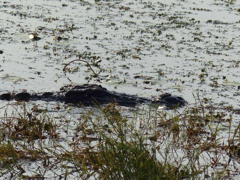 Crocodile - Ranthambore National Park