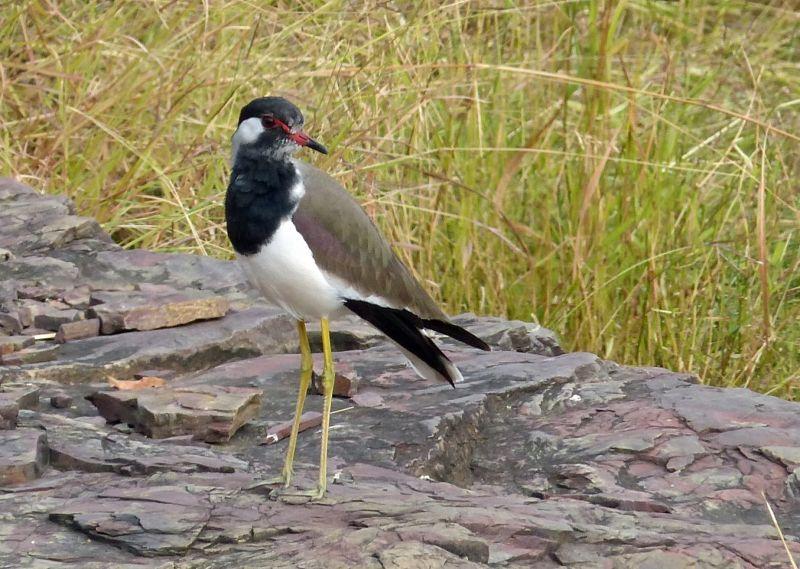 Lapwing - Ranthambore National Park