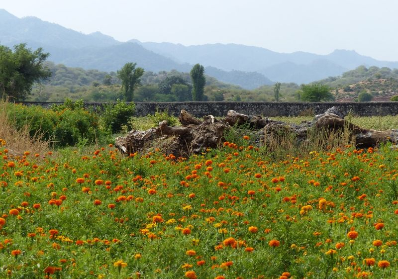Farmland in the Aravallis near Sadri