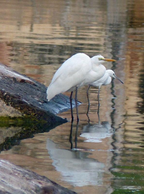 Egrets - Bundi