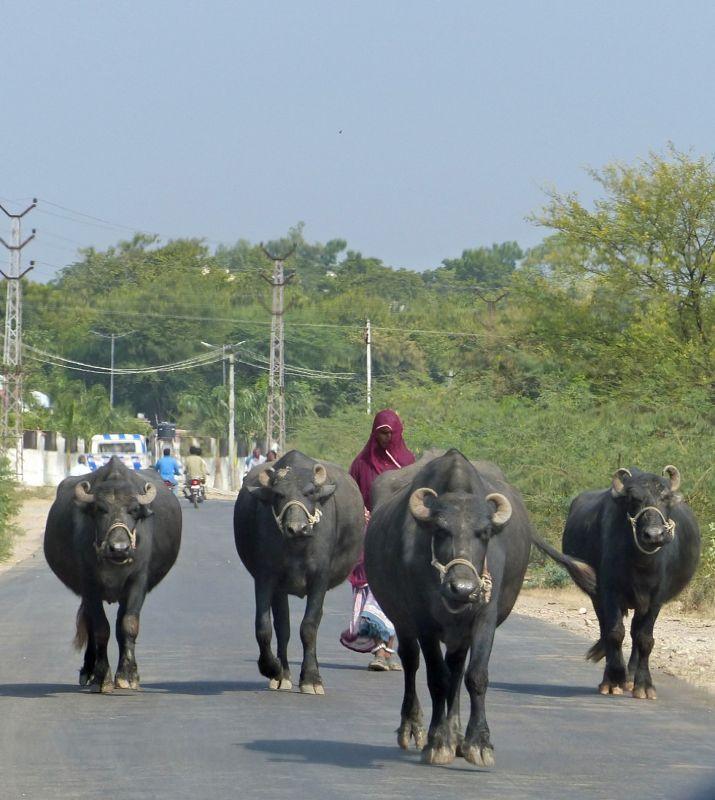 Bullocks on the road to Bundi