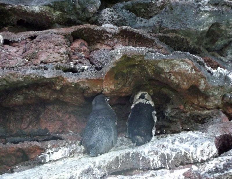 Adult and juvenile penguins, Santiago - Galápagos Islands