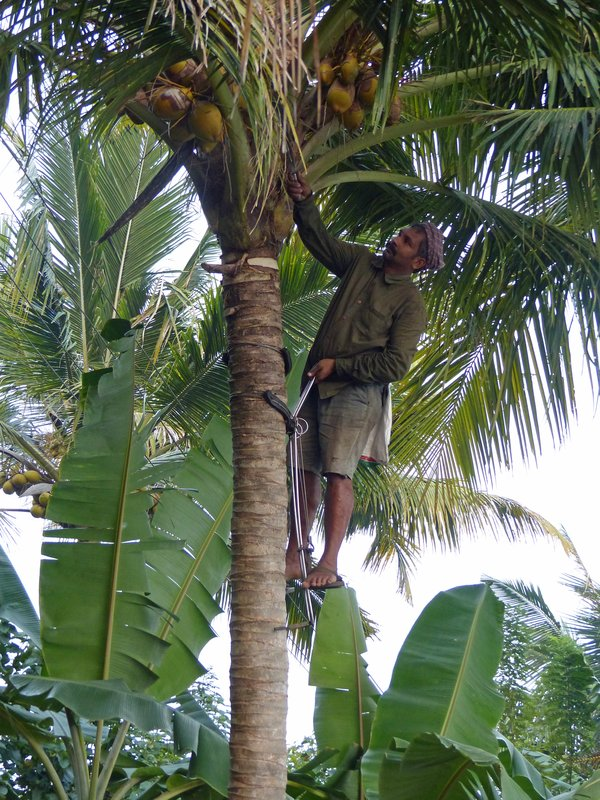 Harvesting coconuts, Kerala backwaters