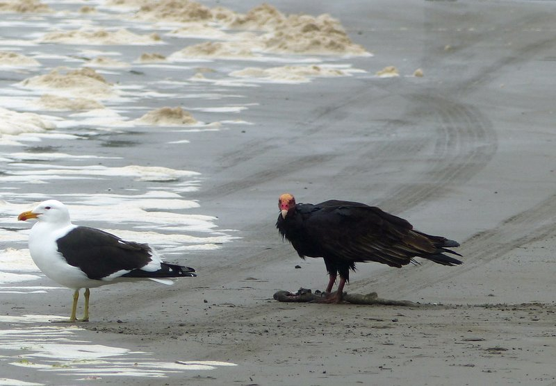 On the beach at Puñihuil: vulture and gull