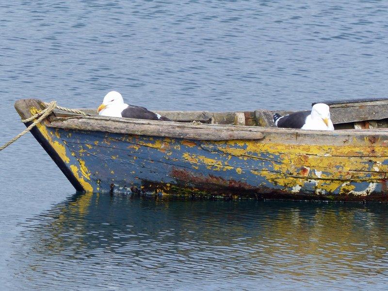 Resting gulls, Dalcahue