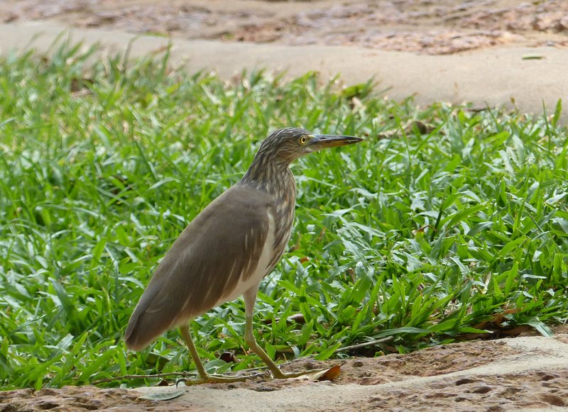 Indian Pond Heron at the Travancore Heritage Hotel