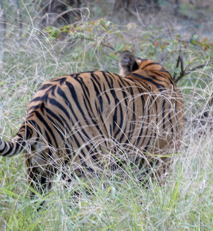 Tigers in Ranthambore - Ranthambore National Park