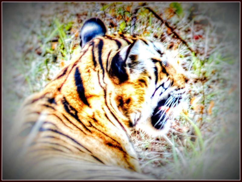 Tiger, tiger burning bright - Ranthambore National Park