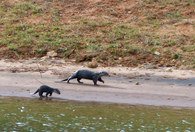 Otters,  Periyar Lake