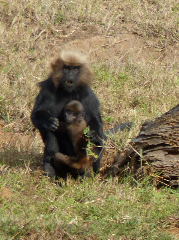 Nilgiri Langur and baby, Periyar Lake