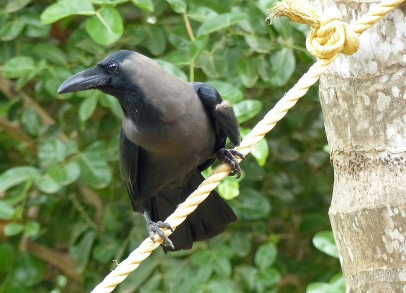 Indian House Crow at the Travancore Heritage Hotel