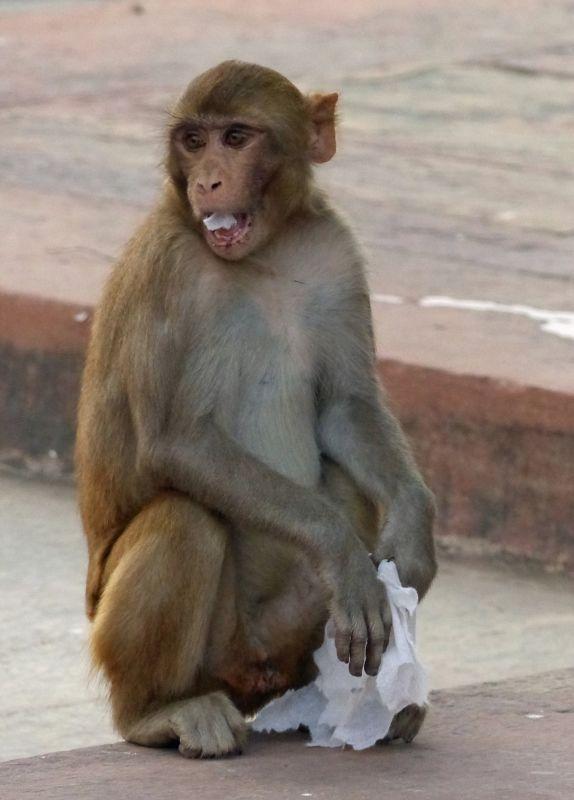Macaque monkeys at Itmad-ud-Daula - Agra