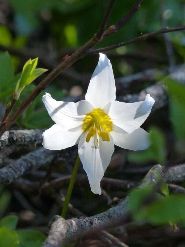 On the Nisqually Vista trail, Mount Rainier NP - avalanche lily