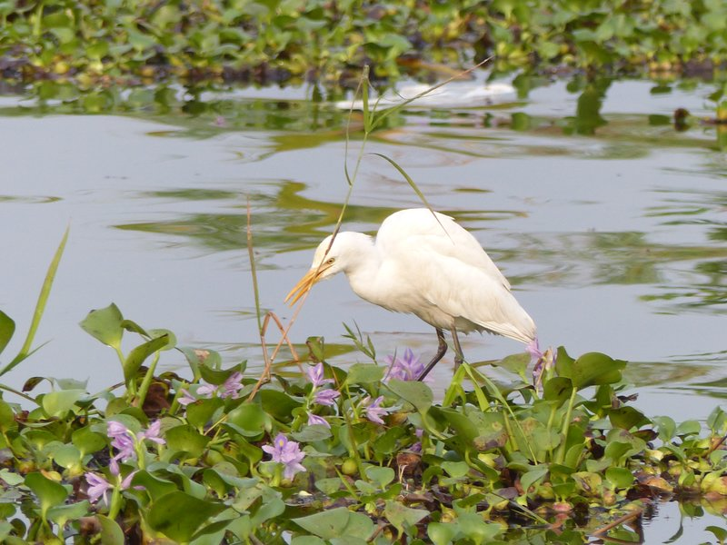Egret, Kerala backwaters