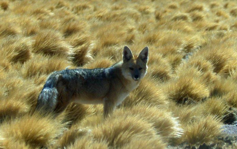 Andean Fox, Atacama Desert