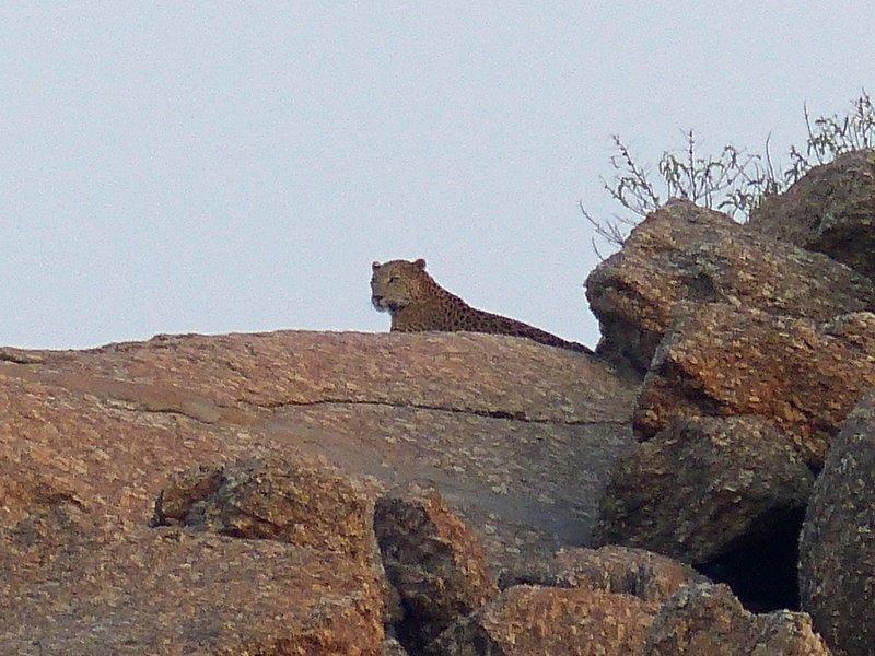 Leopard near Narlai