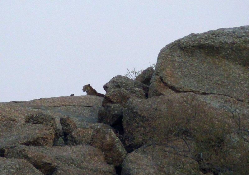 Leopard and cub near Narlai