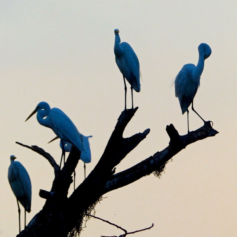 Egrets at sunset, Cochin