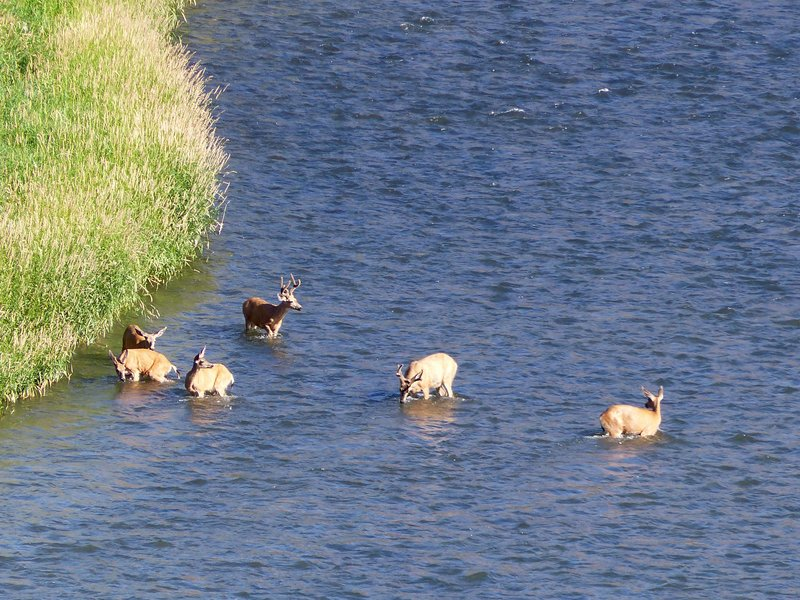 Deer n the river, Yakima Canyon
