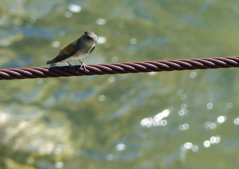 Swallow by the Skagit River, Newhalem
