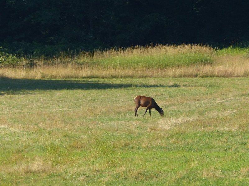 Elk, Hurn's Field, WA