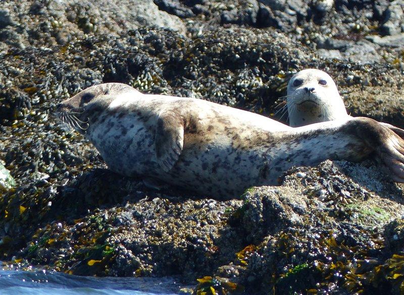 Harbor seal near Friday Harbor