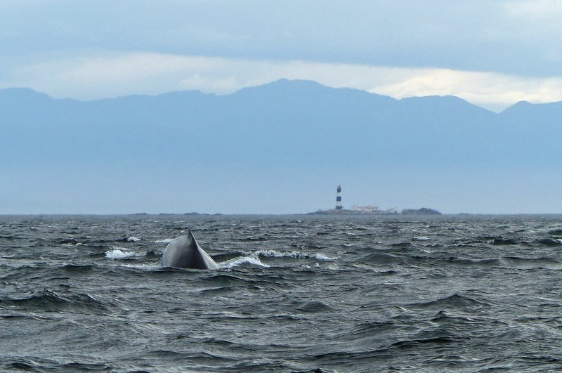 Humpback whale off Vancouver Island