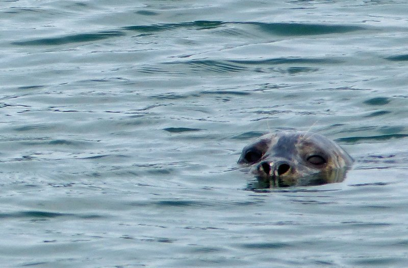 Harbour seal, Deception Pass