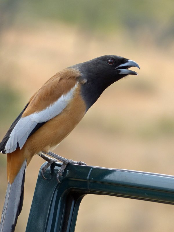Rufous tree pie, Ranthambore